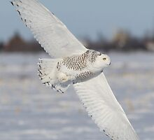 Snowy Owl On Diagonal by Gary Fairhead
