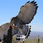 Gray Hawk ~ Brake Check! by Kimberly Chadwick
