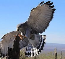 Gray Hawk ~ Brake Check! by Kimberly Chadwick