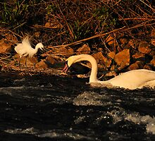Devil Egret & Swan On The River Stour. by delros