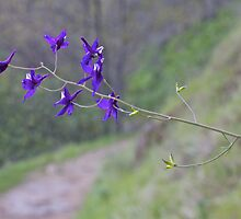 Western Larkspur and River Trail by John Butler