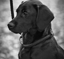 "Black Labrador Gundog Puppy - ""Deep in Thought"" by AndyBiggar"