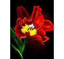 The Red Tulip Photographic Print