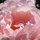 Sunlit Pink Pastel Rose Flower Garden art Baslee Troutman by BasleeArtPrints