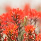Indian Paintbrush Dream by Kim Barton