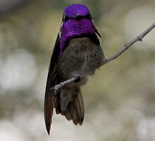Costa's Hummingbird by Tim Devine