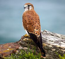 Kestrel at Turrimetta Beach by Doug Cliff