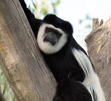Black and White Colobus (Colobus guereza) @ NATIONAL ZOO & AQUARIUM by briangardphoto
