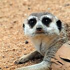 MEERKAT @ NATIONAL ZOO & AQUARIUM  by briangardphoto