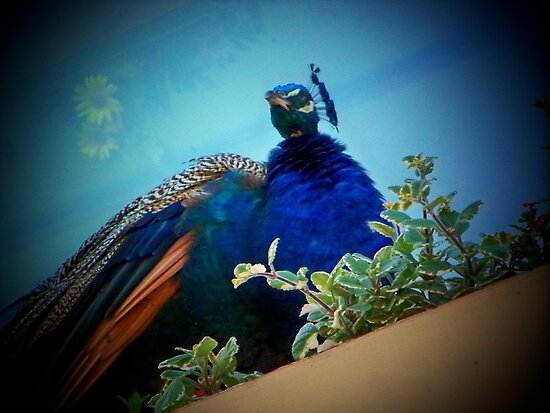 Peacock on a Windowsill Flower Box by Nora Caswell