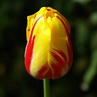 TULIP @ ROYAL BOTANIC GARDENS  by briangardphoto