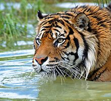 Sumantran Tiger At The Orana Wildlife Park. Christchurch, South Island, New Zealand. by Ralph de Zilva