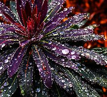 Early Morning Dewdrops - Tasmania by Deb Gibbons