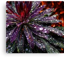 Early Morning Dewdrops - Tasmania Canvas Print