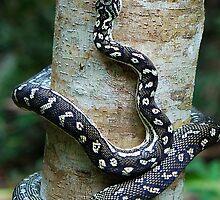 Diamond Python by voir