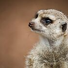 meerkat. by caradione