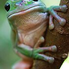 Green Tree Frog by voir