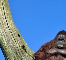 King Of Orang Utans by Sam Halford