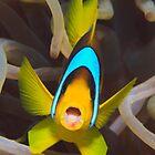 Red Sea anemonefish by Steve Jones