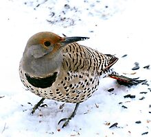 Northern Flicker by Barb Miller