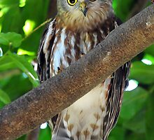 Barking Owl - Darwin Botanical Gardens. by Alwyn Simple