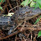 Baby Alligator by Diane Blastorah
