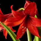 Red Amaryllis pair by ©  Paul W. Faust