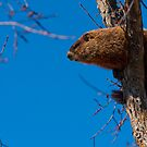 Groundhog up a Tree by Benjamin Brauer