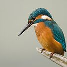 Kingfisher by Nigel Tinlin