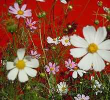 Cosmos on Red by Marijane  Moyer