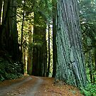 Redwood Forest, No. California by RonnieGinnever