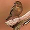 Chaffinch Female (Fringilla coelebs) by Robert Wright