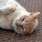 Stray Cat, Corfu. by Hazel Dean