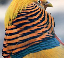Golden Pheasant by DutchLumix