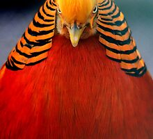 Golden Pheasant 2 by DutchLumix