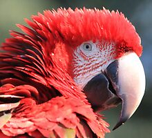 Red-and-green Macaw by DutchLumix