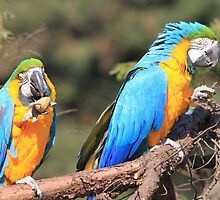 Two Blue-and-yellow Macaw by DutchLumix