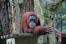 Bornean Orangutan by Leanne Allen