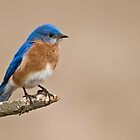 Eastern Bluebird by Raymond J Barlow
