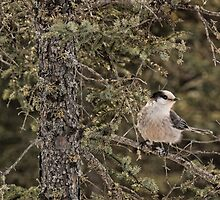 Gray Jay by by M LaCroix
