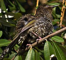 Fluffed up honey eater at Turrimetta beach by Doug Cliff