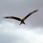 Red kite in flight by Photo Scotland