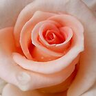 A rose is a rose is a rose.... by Antionette