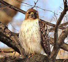 Vigilant - The Red Tailed Hawk by Dana Fazzino