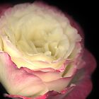 Still Blushing: Double Delight Rose by tscp