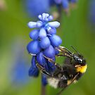 bumble bee by jaffa