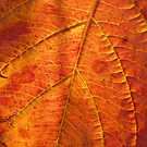 Intense orange autumn leaf by contradirony