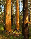 Karri trees, Porongurup National Park WA by Yukondick