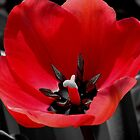 *Tulip Popped Out Red* by DeeZ (D L Honeycutt)