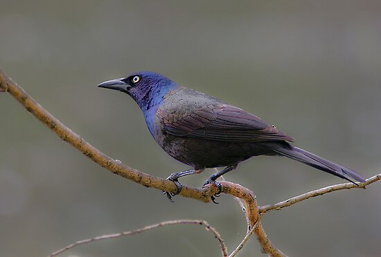Common Grackle (male) by KatMagic Photography